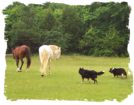 Border Collies working horses