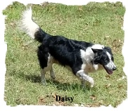 ABCA Border Collie female Daisy out of working stock