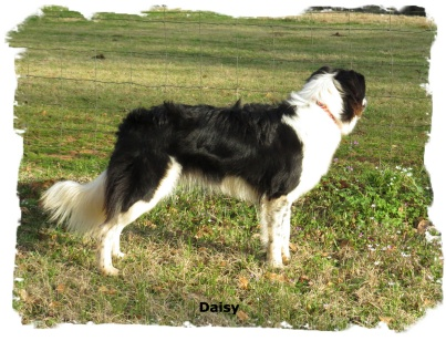 ABCA Black And White Border collie female out of working stock