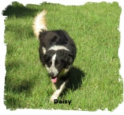 ABCA Blaack and White female Border Collie out of working stock