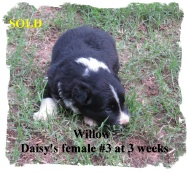 ABCA Black and White female Border Collie out of working stock