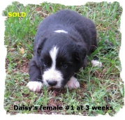 ABCA Black and White female Border Collie pup out of working stock