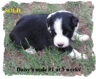 ABCA male Border Collie out of working stock