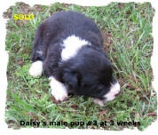 ABCA Black and White male Border Collie pup out of working stock