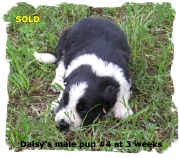 ABCA Black and White mlae Border Collie pup out of working stock