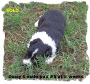 ABCA Black and White male Border Collie pup oyuot of working stock