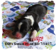 ABCA Black Tricolor female Border Collie out of working stock