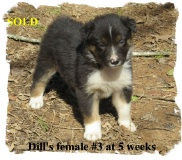 ABCA Black Trico0lor female Border Collie out of working stock