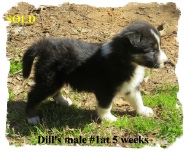 ABCA male Black Tricolor Border Collie out of working stock