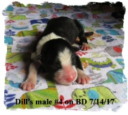 ABCA Black Tricolor male Border Collie out of working stock