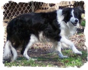 ABCA Border Collie Maybell