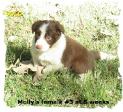 ABCA Red and White female Border Collie out of working stock