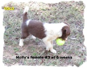ABCA Red and White female Border Collie pup out of working stock