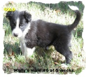 ABCA Black and White male Border Collie out of working stock
