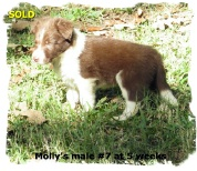 ABCA Red and White male Border Collie out of working stock