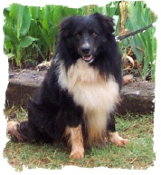 ABCA Border Collie male Okee