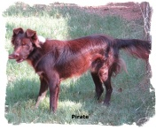 ABCA Border Collie male Pirate