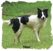 ABCA Black and White female Bprder Collie out of working stock