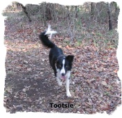 ABCA Border Collie female Tootsie