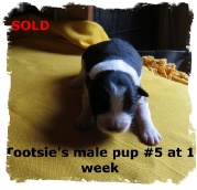 ABCA male Black and White Border Collie out of working stock