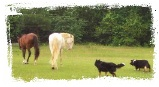 ABCA Border Collies working horses