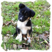 ABCA Border Collie Zoe out of working stock