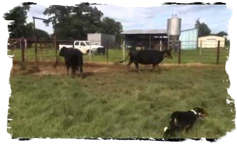 Border Collie Chisum working cattle at 6 months of age.