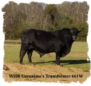 Registered Brangus bull and grandson of Summit Sire Geronimo of Brinks
