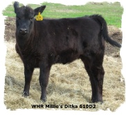 Registered Brangus heifer