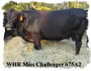 Registered bred Brangus cow