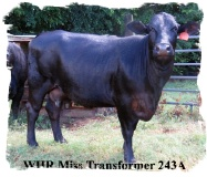Registered Brangus cow with heifer