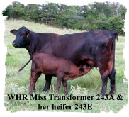 Registered Brangus cow andherheifer