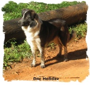 ABCA Seal colored Border Collie male out of working stock