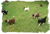 Border Collie Puppies out of Black and White female