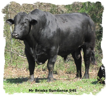 Registered Brangus Bull Mr Brinks Sundance 94S