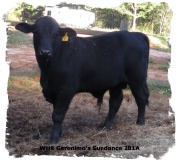 Registered Brangus bull