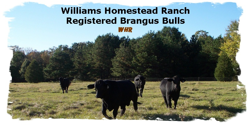 Registered Brangus Bulls in the lower meadow