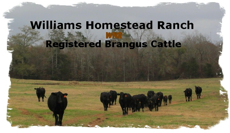 Registered Brangus cows and calves
